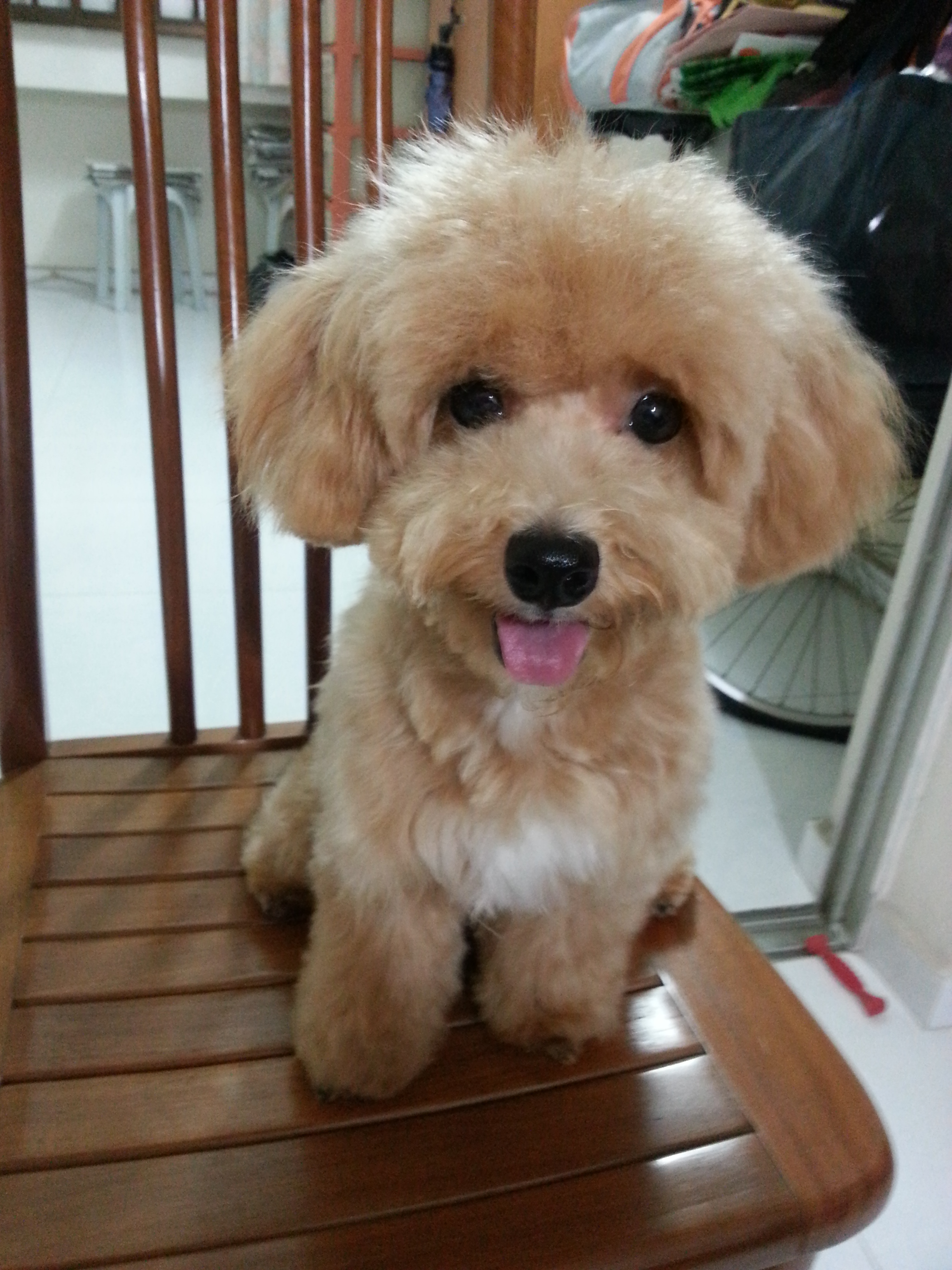 curly - the maltipoo puppy blog singapore